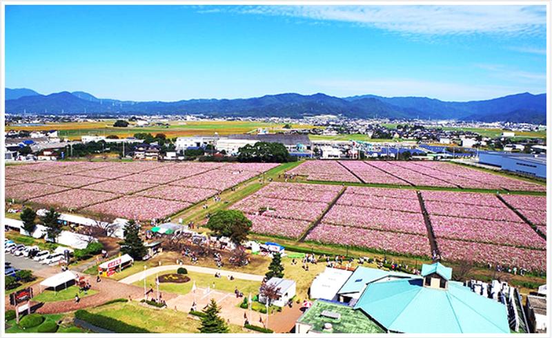 キリンビール福岡工場のコスモスフェスタ